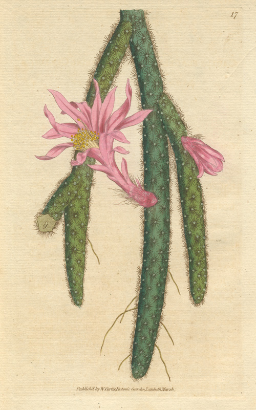 Cactus. Creeping Cereus. William Curtis hand-colored botanical engraving c1787