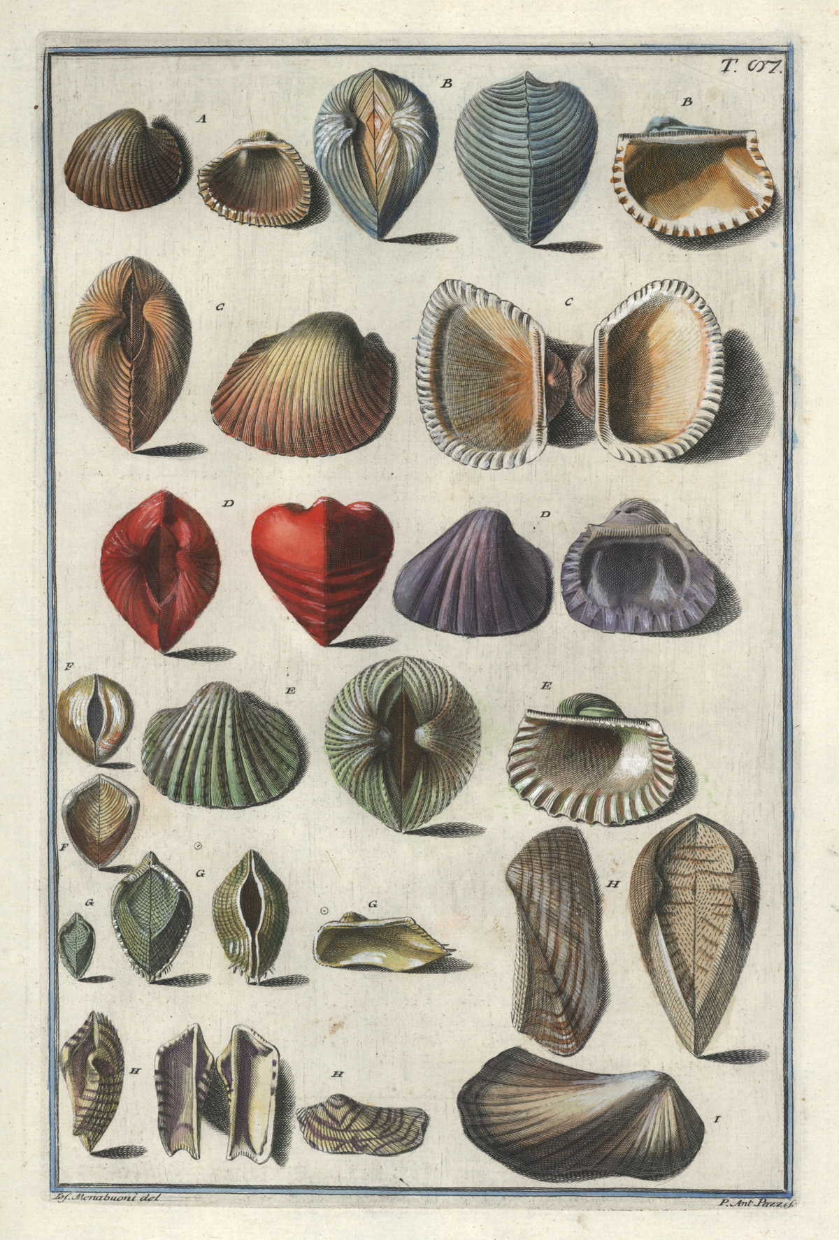 Gualtieri antique print of very pretty Bivalve Shells c1742
