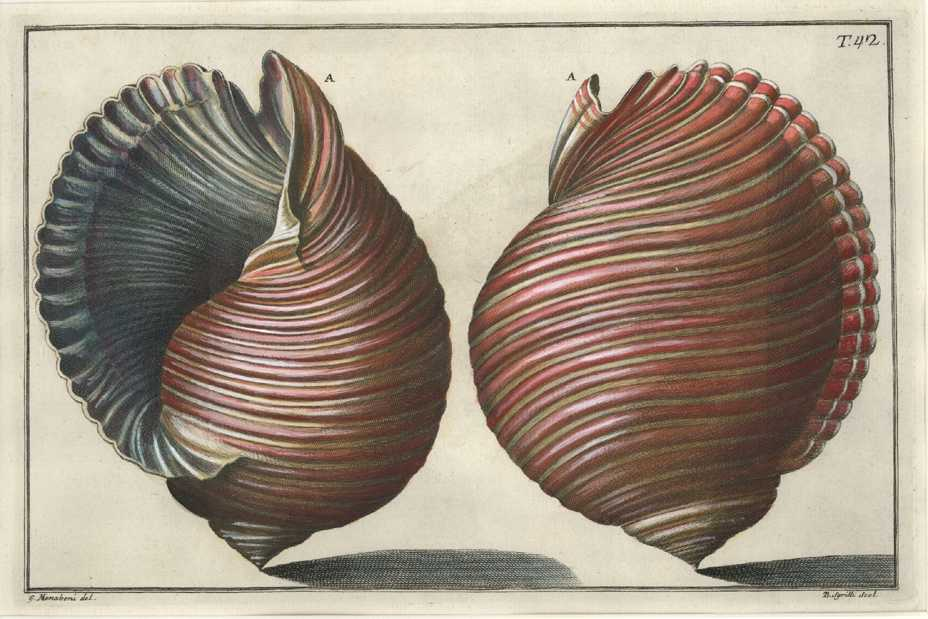 Superb hand-coloured engraving, Plate 42 for Niccolo Gualtieri Conchology c1742