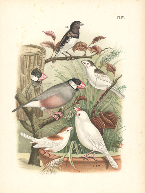 Pretty Sparrows, Finches.. Domestic and Park Birds lithograph.