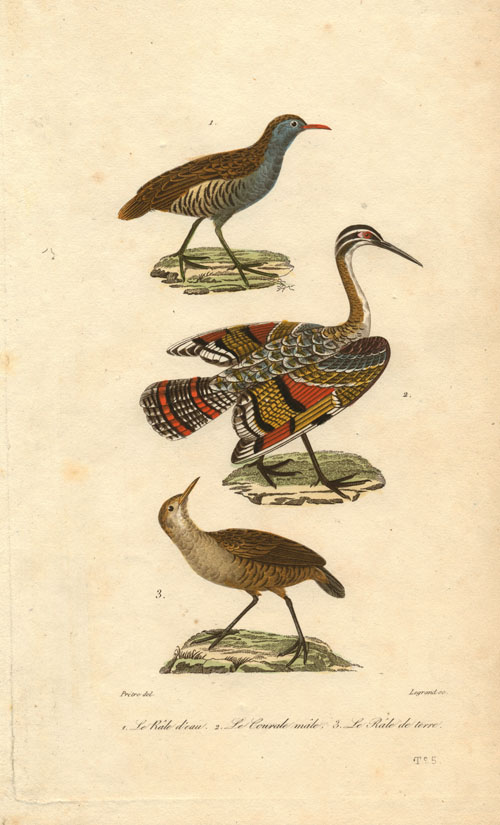 Water Rail, Male Courale, Land Rail. Legrand engraving after Pretres c1845