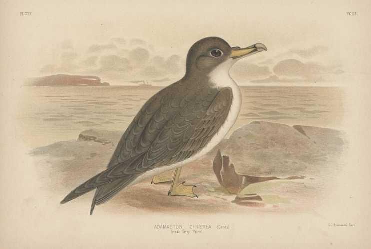 Broinowski bird lithograph. Australian Great Grey Petrel. c1890