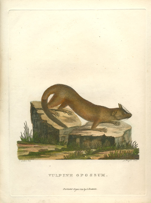 Vulpine Opossum antique print by Mazell after Latham c1789.