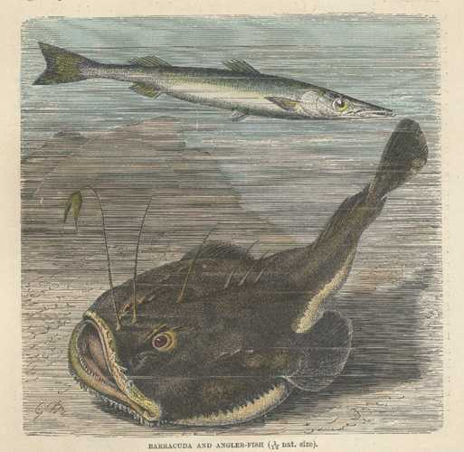 Fish. Antique Print of Barracuda and Angler-Fish. Lydekker c1894