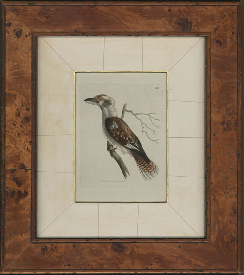 Kookaburra, poplar-framed, gilt-edged cracked-gesso mount, R.P.Nodder engraving c1815.