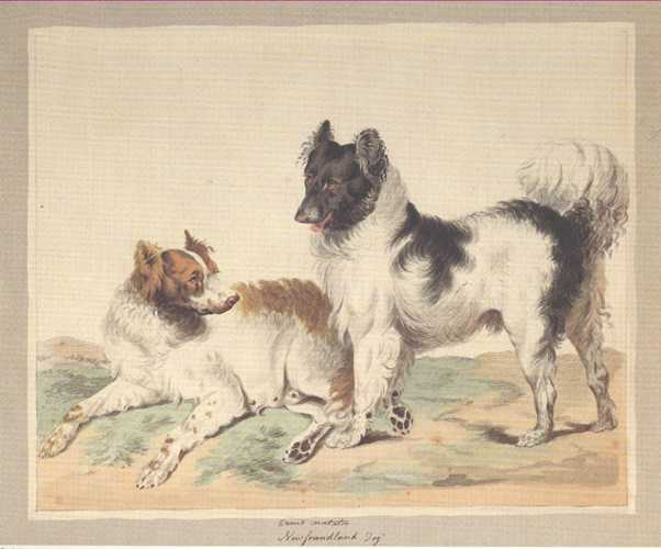 Dog Print: Newfoundland Dogs. Reproduction from the Sydenham Edwards watercolour