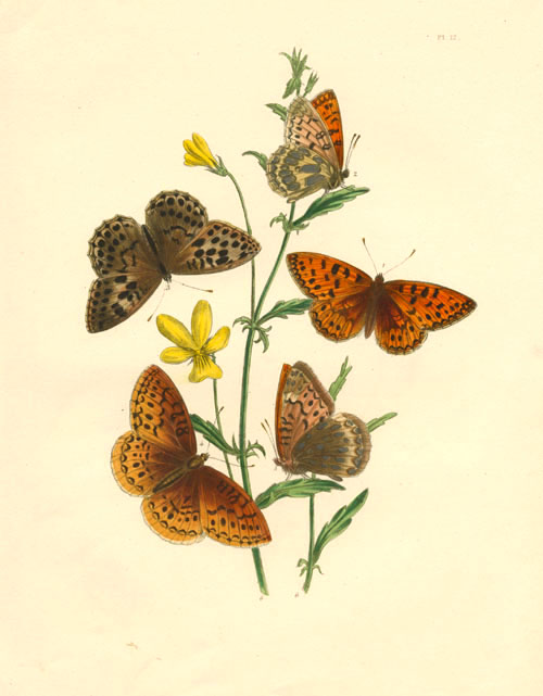 Argynnis Butterfly varieties with yellow Viola lutea. Humphreys.