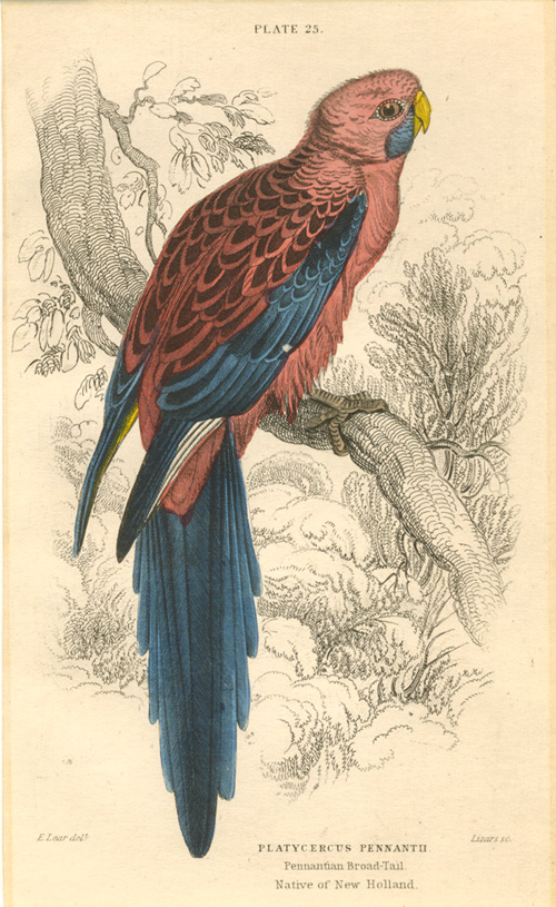 Edward Lear Platycercus Pennantii, Pennantian Broad-Tail. native of New Holland. Lizars engraving c1836.