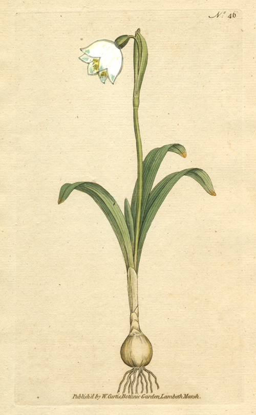 William Curtis Spring Snowflake (Leucojum Vernum) botanical engraving c1788.