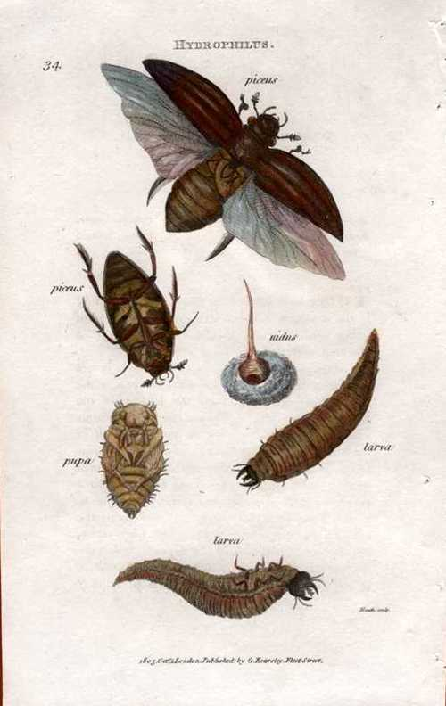 Stages of Hydrophilus. Shaw antique engraving of entomology Pl.34 c1805