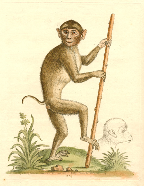 Pig-Tailed Monkey, engraved by George Edwards c1755.