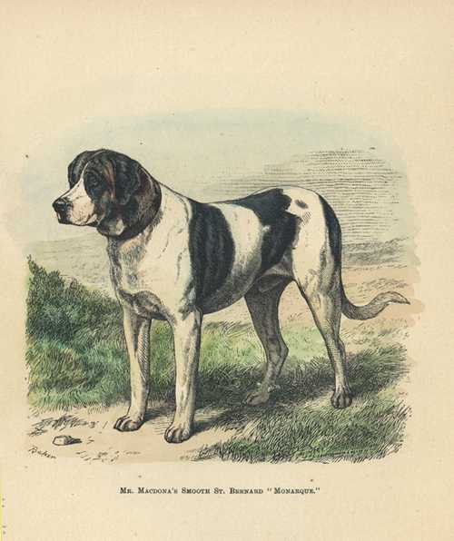 "Smooth St. Bernard ""Monarque"". Walsh antique print c1878"