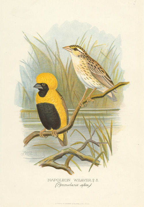 Male & Female Napoleon Weaver (Pyromelana afra) lithograth c1896.