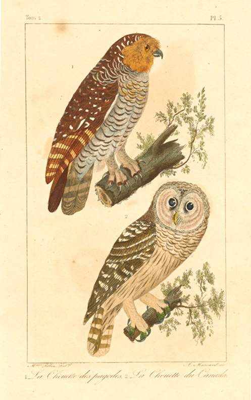 Spotted Wood Owl (Strix seloputo) & Canadian Owl c1836.