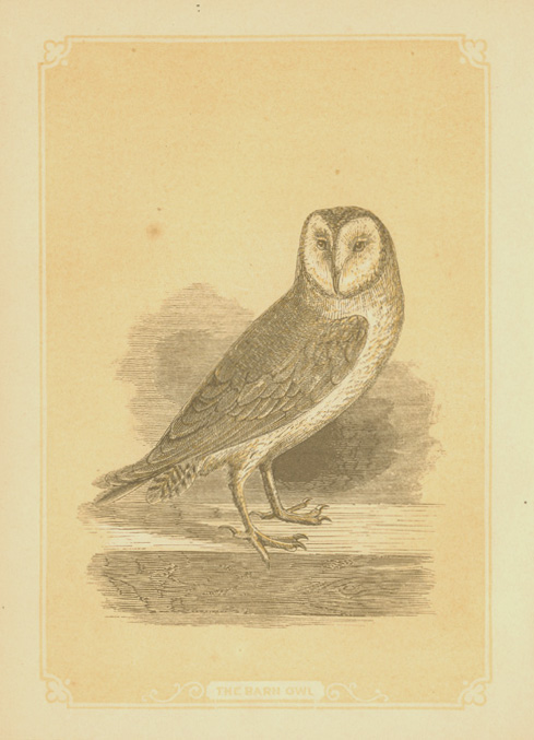 The Barn Owl. W.I. Bicknell engraving c1860.