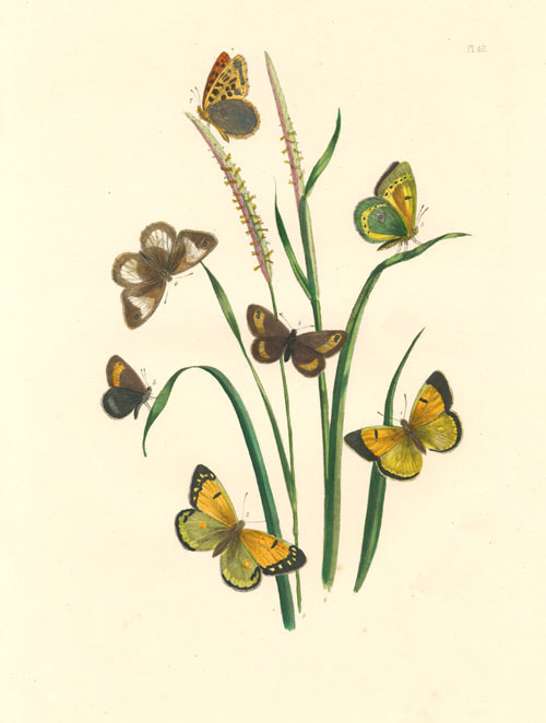 Colias Butterfly and Hipparchia Butterfly antique print. Humphreys c1860.