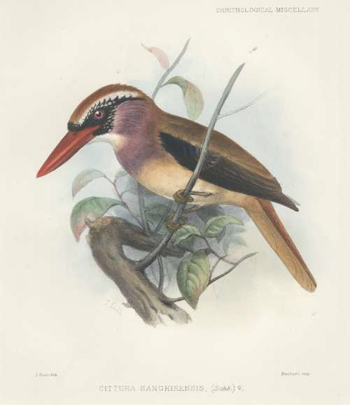 Kingfisher from Sanghir Islands in Indonesia, like European Kingfisher. c1877.