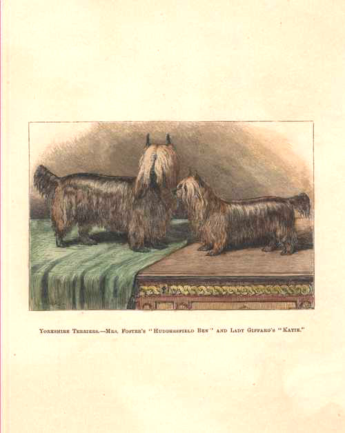 Yorkshire Terriers, Huddersfield Ben and Kate. Walsh c1878